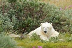 Sleepy Polar Bear 1 royalty free stock photo