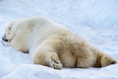 Sleepy polar bear. stock photos