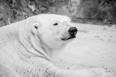 Sleepy polar bear portrait in black and white Stock Photo