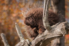 Sleepy Porcupine (Erethizon dorsatum) Rests in Tree Royalty Free Stock Photography