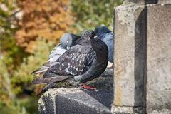 City birds. Sleepy puffed up pigeon stock photo