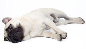Sleepy Pug Royalty Free Stock Images