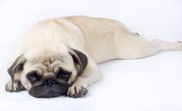 Sleepy pug stock image