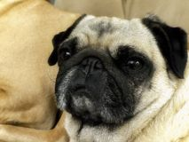 Sleepy Pug lying on the couch. A close up view of a sleepy Pug dog on the couch Royalty Free Stock Images