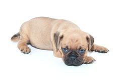 Sleepy Pug Puppy Royalty Free Stock Photos