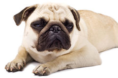 Sleepy pug with sad eyes Royalty Free Stock Photos