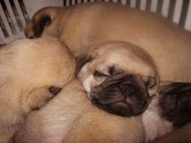 Sleepy Pugs Royalty Free Stock Image