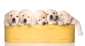 Sleepy puppies Royalty Free Stock Photo