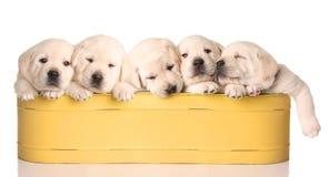 Sleepy puppies royalty free stock photo