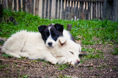 Sleepy puppies. A couple of sleepy puppies sitting together, country side backdrop Royalty Free Stock Images