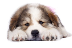 Sleepy puppy. Picture of a sleepy puppy standing on a white background Royalty Free Stock Images