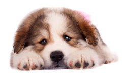 Sleepy puppy Royalty Free Stock Photography