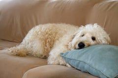 Sleepy Puppy Stock Photography