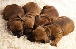 Sleepy Puppy Royalty Free Stock Photos