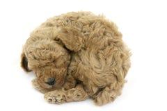 Sleepy puppy. I am not a ball but a puppy Stock Image