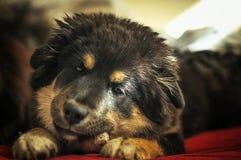 Sleepy puppy Stock Photos