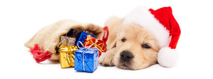 Sleepy Puppy With Christmas Gifts - Horizontal Banner. Cute Golden Retriever puppy wearing Santa Claus hat with bag of Christmas gifts. Horizontal banner Stock Image