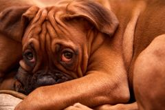 Sleepy puppy dog German Boxer. Almost sleeping and looking - a lot of wrinkles Stock Photos