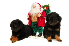 Sleepy Puppy Dogs with Santa. Twin Yorkipoo Puppies with Santa Clause, one can't keep its eyes open. A Yorkshire/Poodle cross breed, these 2 month old pups each Royalty Free Stock Image