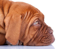 Sleepy Puppy of Dogue de Bordeaux. Face of a sleepy Puppy of Dogue de Bordeaux (French mastiff). Isolated on white background Royalty Free Stock Photography
