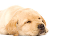 Sleepy Puppy Labrador retriever Stock Images