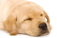 Sleepy Puppy Labrador retriever Royalty Free Stock Photos