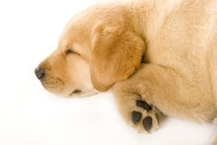 Sleepy Puppy Labrador retriever cream Stock Photos