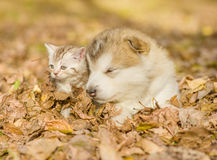 Sleepy puppy lying together with kitten on fallen leaves.  Royalty Free Stock Photos