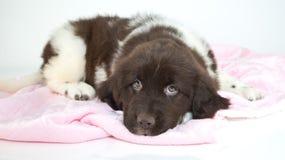 Sleepy Puppy Royalty Free Stock Photo