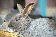 Sleepy rabbit Royalty Free Stock Image