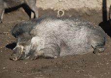 Sleepy Razorback. An adult warthog lays in the mud Royalty Free Stock Image