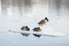 Sleepy resting ducks on ice floe close-up, drifting ice on the river. Winter, spring in city. Seasons. Arrival of spring. Sleepy resting ducks on ice floe close stock photo