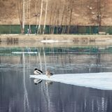 Sleepy resting ducks on ice floe, drifting ice on river. Winter in city. Spring landscape. Seasons. Arrival of spring. Royalty Free Stock Photos