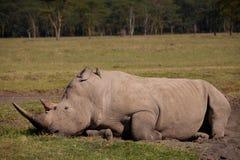 Sleepy Rhino. Sleeping rhinoceros by lake nakuru, kenya Stock Photo