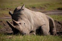 Sleepy Rhino Stock Photo