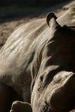 Sleepy rhino Royalty Free Stock Images