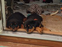 Sleepy Rottweiler Puppies Royalty Free Stock Image