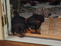 Sleepy Rottweiler Puppies Royalty Free Stock Photo