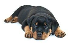 Sleepy Rottweiler Puppy Royalty Free Stock Photos