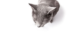 Sleepy Russian Blue Cat Royalty Free Stock Image