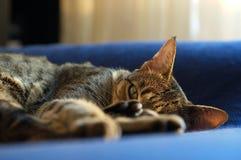 Sleepy Savannah cat Royalty Free Stock Images