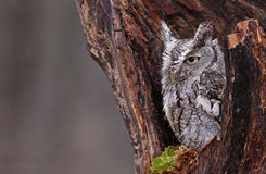 Sleepy Screech Owl. A close-up of an Eastern Screech Owl (Megascops asio) sitting in a stump Royalty Free Stock Images
