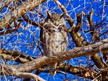 Sleepy Screech Owl stock image