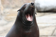 Sleepy sea lion Stock Photos