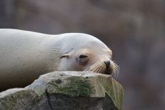 Sleepy Sea Lion Stock Image