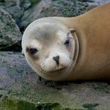 Sleepy Sea Lion Royalty Free Stock Image