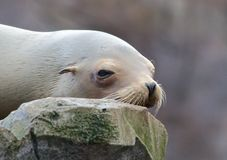 Sleepy Sea Lion Royalty Free Stock Photography