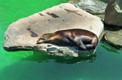 Sleepy Sea Lion Resting On A Rock. A sleepy sea lion resting on a rock in light and dark green water. He appears very relaxed and carefree stock images