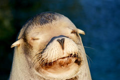Sleepy sea lion Stock Photography