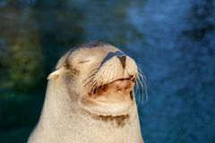 Sleepy sea lion Stock Images